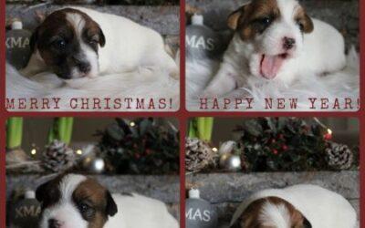 Pups geboren op 10-12-2020 (gereserveerd!)